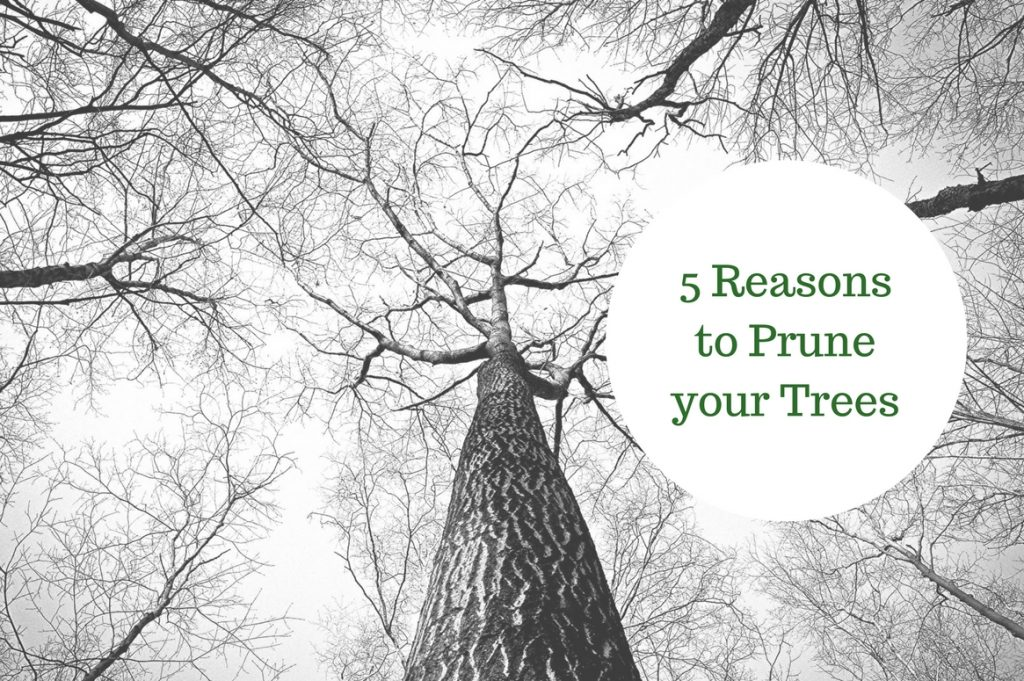 5 Reasons to Prune your Trees - Treeman Melbourne