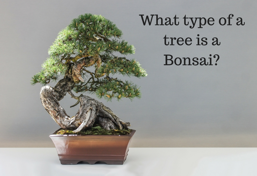 Treeman Melbourne - What type of a tree is a Bonsai?