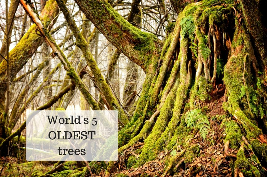 World's 5 oldest trees - Treeman Melbourne