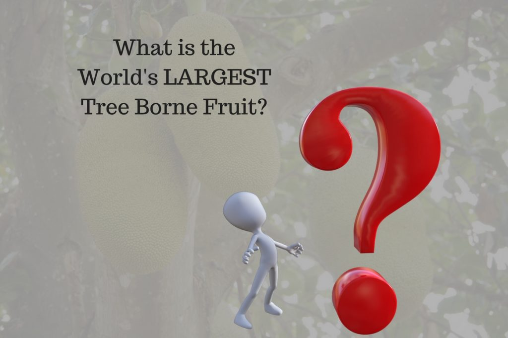 What is the World's LARGEST Tree Borne Fruit? - Treeman Melbourne